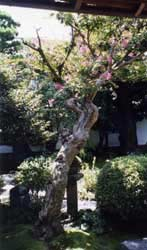 Another view of the garden at Hearn's yashiki.