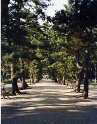 Old trees line the walkway to Izumo Grand Shrine.